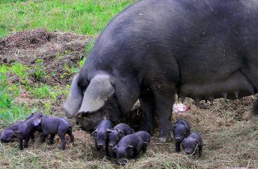 Бизнес-план фермерского свиноводческого хозяйства